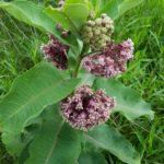 Asclépiade commune en fleurs - Libre de droits