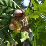 Chêne à gros fruits avec ses glands - Libre de droits