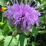 Monarde fistuleuse en fleurs - Libre de droits