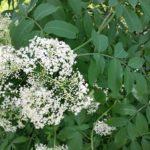 Sureau blanc en fleurs - Libre de droits