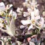 Amelanchier spp. en floraison début mai