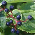 Cornouiller à feuilles alternes en fruits