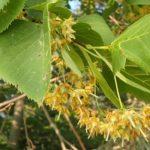 Tilleul d'Amérique (Tilia americana) : il produit une quantité astronomique de fleurs au cours de l'été. Les insectes s'y délectent sans rechigner et ses feuilles sont en forme de cœur. L'arbre aux cœurs quoi demander de mieux.
